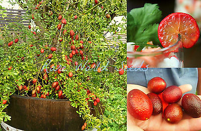 RARE Australian Blood Lime (sanguinea x limonia) EASY CONTAINER GROWING! Seeds.