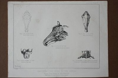 Anatomie, Pferd, Veterinär, Tierartz, The head of the horse, Lithographie um 186