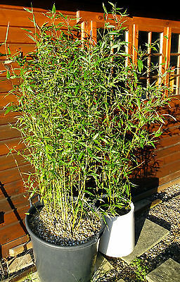 Green Bamboo 3 large 2 metre tall clumps - Phyllostachys bissetii