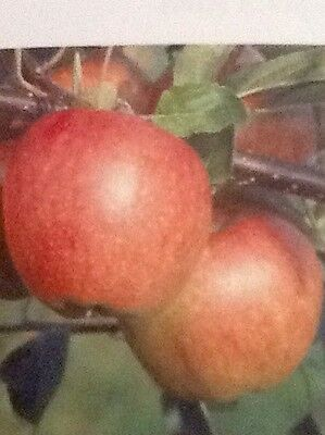 4ft - 5ft bare rooted Braeburn Apple Fruit Tree 2 Year old
