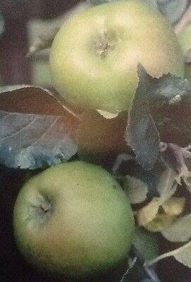 4ft - 5ft bare rooted Bramley Apple Fruit Tree 2 year old