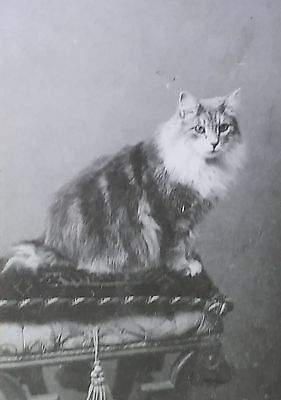 """A Resident of Cannes, France 'Gribiche'"",  Cat, Magic Lantern Glass Slide"