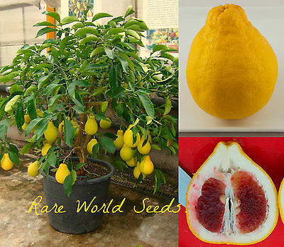 'Shatian Pomelo' Pear-shaped Pummelo Grapefruit from China SUPER SWEET! seeds.