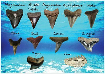 Detailed Shark Tooth Identification Card With Ten Shark Teeth Types