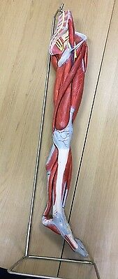 Lower Limb - Anatomical Model with stand