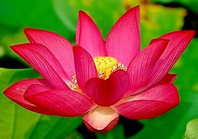 5 RED LOTUS Seeds -  Nelumbo Nucifera