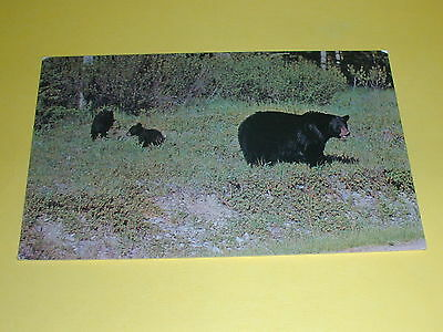 A Mother Black Bear and Cubs Postcard Canada