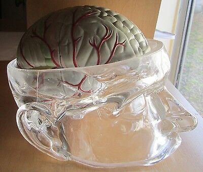 Doctor Advertising Seroquel Anatomical Model Acrylic Head with 4 Part Brain