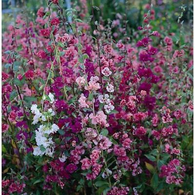 Pack Flower Seeds Clarkia 'Elegans Double Delight Mixed' King's Quality Seed