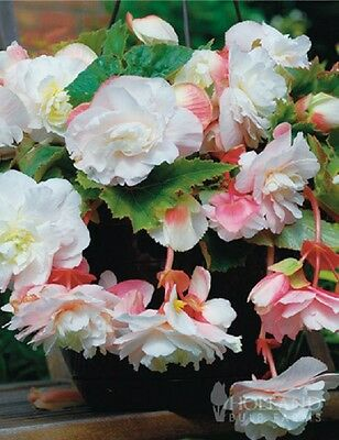 Pack x2 Begonia Odarata Angelique WPC Prins Quality Bulbs/Tubers