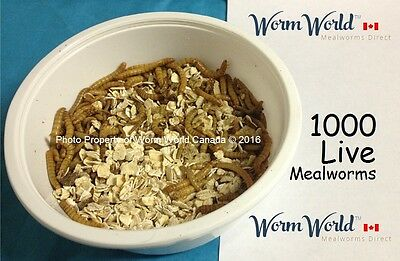 1000 Organic Live Mealworms - Free Shipping