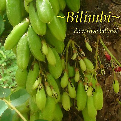 ~BILIMBI~ Averrhoa Belimbing CUCUMBER TREE 1yr old Potted Fruit Tree Plant LEGIT