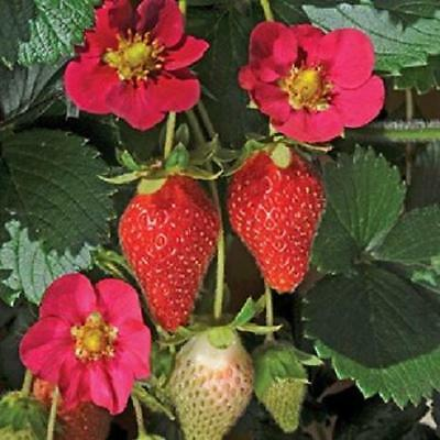 Pack x6 Strawberry Plug Plants 'Toscana F1' Vegetable Garden