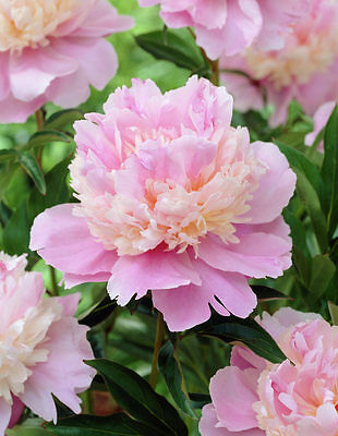 Peony Sorbet Pink & White Double Fragrant Flowers Hardy Perennial Garden Plant