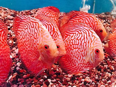 Red pigeon discus 5 inch tropical fish