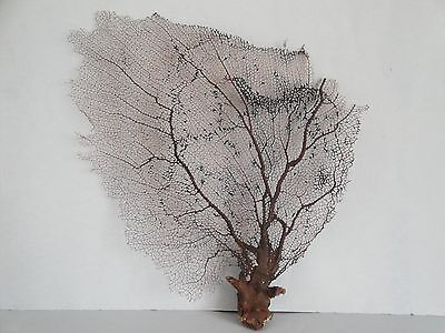 "12""x 16"" Natural Black Color Caribbean Sea Fan Reef Coral"