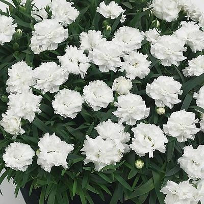 Pack x6 Dianthus Sunflor 'White Cosmos' Pinks Perennial Garden Plug Plants