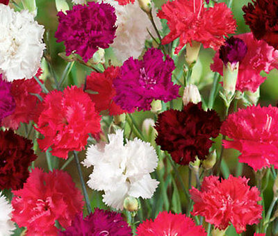 CARNATION MIXED COLORS Dianthus Caryophyllus - 20 Seeds