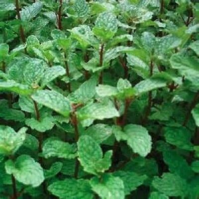 Mojito Mint Perennial Herb Starter Plant
