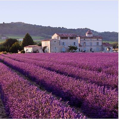 200 French Provence Lavender Seeds Very Fragrant lavender seeds plant Home