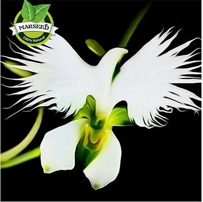 100 Japanese Radiata Seeds White Egret Orchid Seeds World's Rare Orchid
