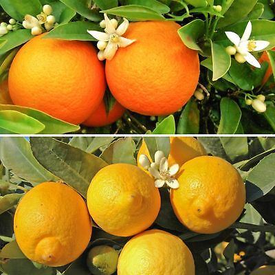 Pair of Large Citrus Trees in 6.5L Pots with Free Citrus Feed Fully Mature Plant