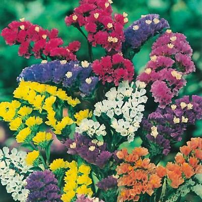 New Pack Kings Seed Statice 'Art Shades Mixed' Quality Garden Flower Seeds