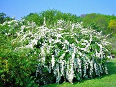 8 weeping double white May Bush flower garden plant hardy shrub hedge border