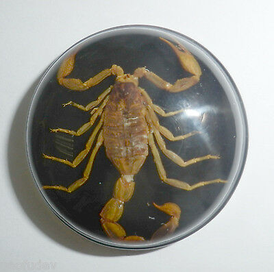 Insect Cabochon Golden Scorpion 38.5 mm Round inner 36 mm on Black 1 piece Lot