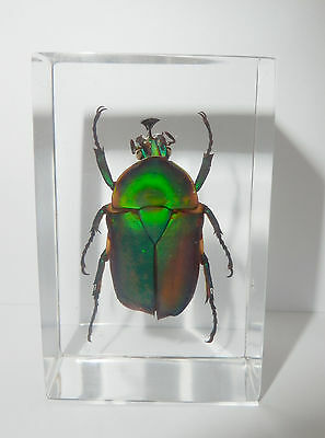 Unicorn Green Rose Chafer Beetle in small Paperweight Education Insect Specimen