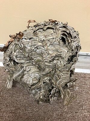 Small BALD FACE HORNET NEST! School Science Projects Outdoors Man Cave Wasps