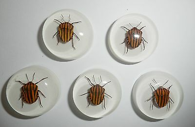 Insect Cabochon Stripe Bug Specimen 25 mm Round on white 10 pieces Lot