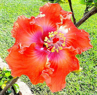 Hibiscus rosa-sinensis 'Hot Pepper' x 1 young plant. Not for NT, WA or TAS