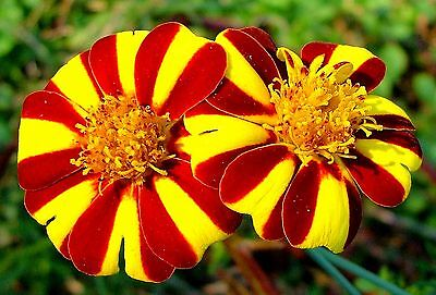 "Marigold (Tagetes patula) ""Court Jester"" x 50 seeds"