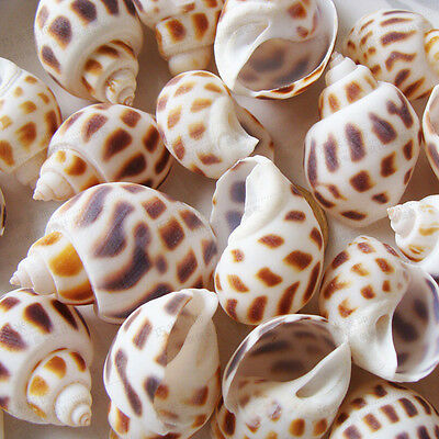 15pcs Natural Beautiful top rare real sea Shell Conch YBK3