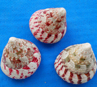 100% Natural Red Beautiful top rare real sea Shell Conch YBK6