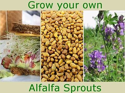 Alfalfa Seeds for Sprouting Medicago Sativa 200g