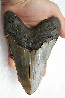 """6.03"""" Large Megalodon Shark Tooth Fossil"""