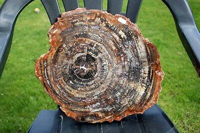 B.J.F.   Fossils VERY Large Polished Madagascar Petrified Wood ..14inches +