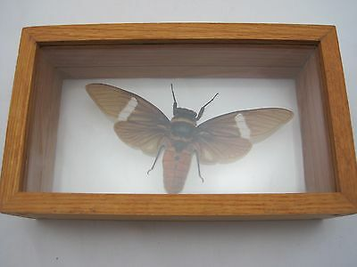 Real Insect Bug Taxidermy Display Framed Box - Flying Insect
