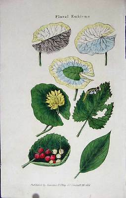 Old Antique Print Hand Coloured 1825 Botanical Floral Emblems 015551
