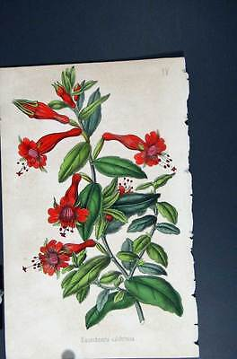 Old Antique Print Hand Coloured C1875 Botanical Habrothamne Fascicule 745551