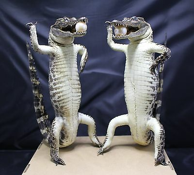 Lot of 2 - 55 cm (21.6 inch) Stuffed Real Freshwater Alligator TL090