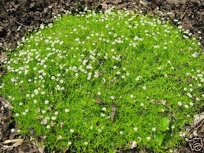 60 graines SAGINE PLANTE CARPETTE (Sagina Subulata)G636 IRISH MOSS SEEDS SAMEN