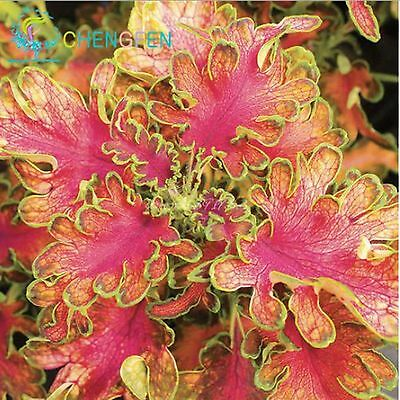 100 pcs Japanese Bonsai Coleus Seeds Foliage Plants Perfect Color Rainbow Dragon