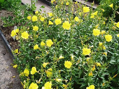 3 x Evening Primrose Oenothera biennis plants in 7cm pots FREE DELIVERY over £20