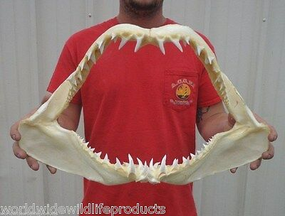 19 inch Mako Shark jaw shark teeth taxidermy from a mako real shark # J-2244