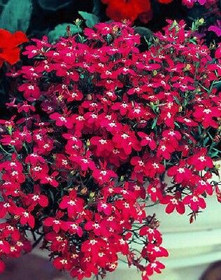 "Trailing Lobelia ""Fountain Crimson"" x 200 seeds. Gift in store"