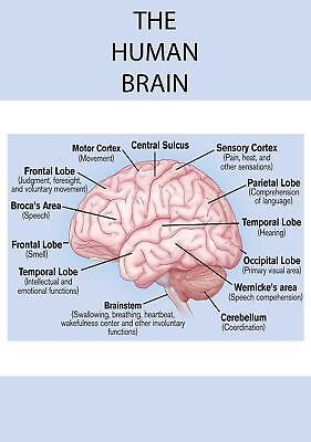 Educational Anatomy The Human Brain College University Medical poster A0 size