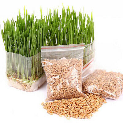 1 Bag Harvested Cat Grass 1oz approx 800 Seeds Organic Including Growing Guide
